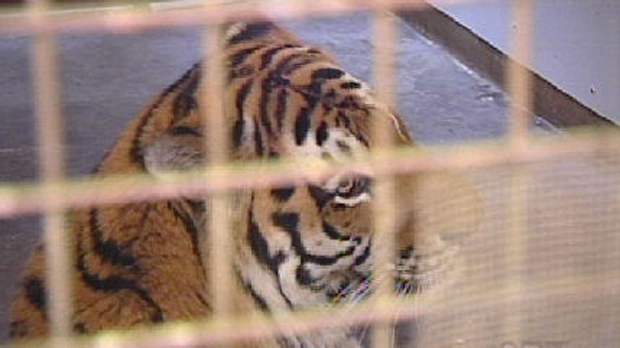 The adult male tiger Baikal, shown here in this undated photo, died after a fight with another tiger at the Assiniboine Park Zoo on Thursday, Sept. 25, 2014.