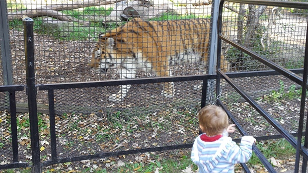 Robert Burnett was visiting the zoo with his family.  He said his son, shown in image above, watched Baikal, moments before the attack. Burnett said Baikal walked past and entered a gated walkway. They heard a commotion but did not see the actual fight.  (Photo courtesy Robert Burnett)