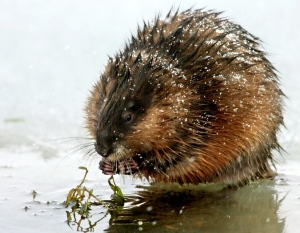 With snow falling, a muskrat feeds while sitting on an ice shelf on the Missouri River near Great Falls, Mont., in this Friday, Feb. 2, 2007 file photo. (AP / Robin Loznak, Great Falls Tribune)