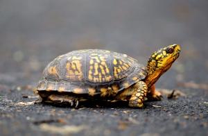 turtle smuggler