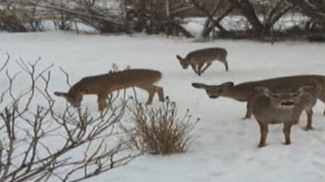 Wildlife experts say Winnipeg's depleted deer populations are seeing improvement with this year's warm weather.