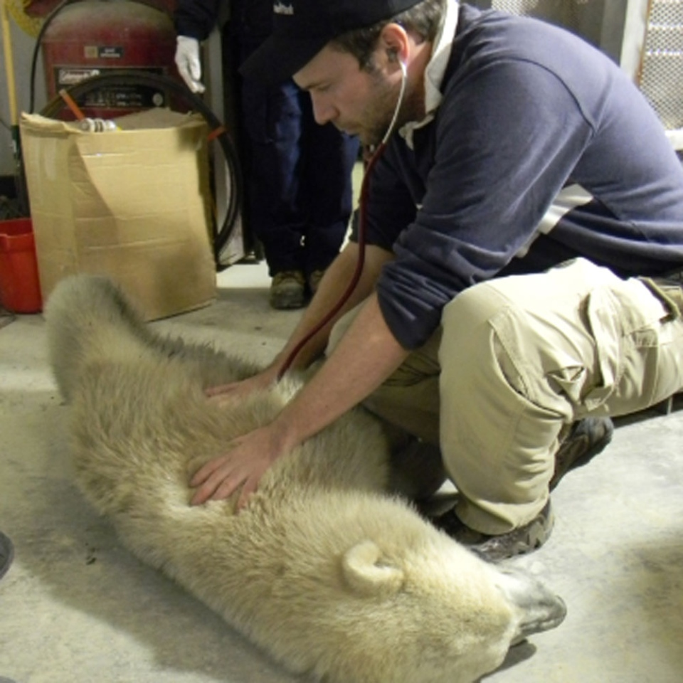 The male polar bear cub is shown being examined by Dr. Chris Enright, head veterinarian at the Assiniboine Park Zoo. (Photo courtesy Province of Manitoba)