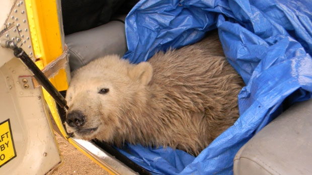 Female polar bear cub found on Sept. 24, 2014