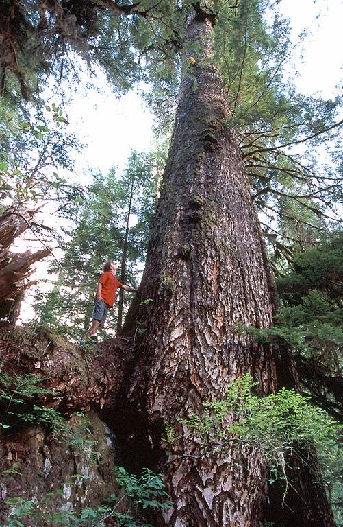 B C S Big Trees Ctv News