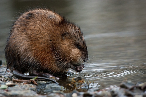 In this file photo, a muskrat feeds on the roots of a plant Wednesday, April 1, 2009 near Coeur d'Alene, Idaho after bringing his catch from Fernan Lake to the shore. (AP Photo/The Coeur d'Alene Press, Shawn Gust)