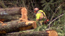 A logger fells trees near Chilliwack in a forest that is inhabited by the endangered spotted owl. Feb. 22, 2012. (CTV)