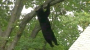 Tranquilized bear hangs from a tree