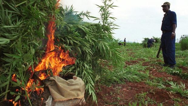 Marijuana crop eradication in Hanson, Jamaica