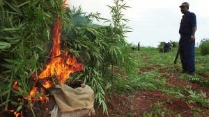 Marijuana crop eradication in Hanson, Jamaica, on Nov. 1, 2000. (AP / Tomas van Houtryve)