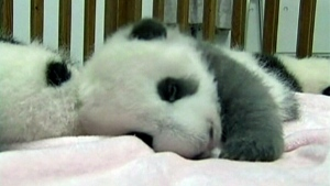 Extended: Baby pandas make public debut