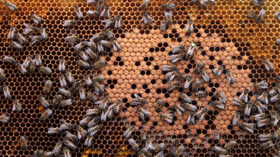 Honey bees and the queen on a honeycomb