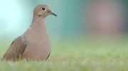 CTV Northern Ontario: Mourning dove hunt