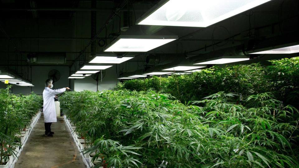 MediJean cannabis plant care technician Misad Shazi sprays water on marijuana plants growing at the medical marijuana facility in Richmond, B.C., on Friday, March 21, 2014. (Darryl Dyck/The Canadian PRess)