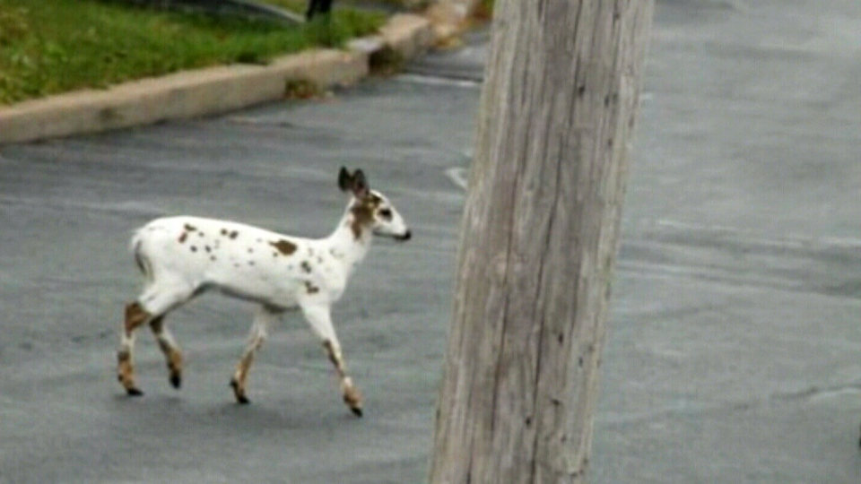 White deer spotted by residents in Halifax