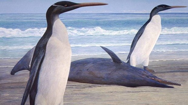 This undated graphic illustration released by University of Otago on Wednesday, Feb. 29, 2012 shows a giant penguin called a Kairuku. (AP Photo/University of Otago)