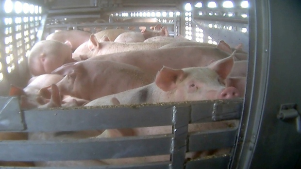 W5's hidden camera investigation shows pigs crammed on a trailer during transport.