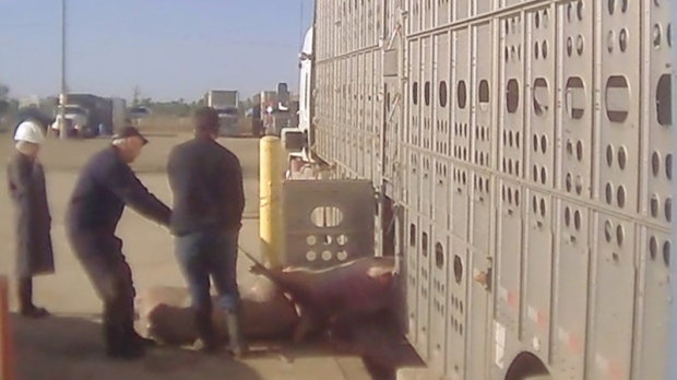 Pigs being pulled out of a transport truck.