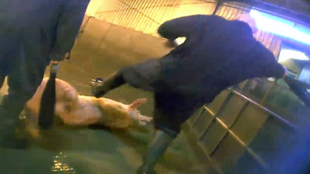 A pig being kicked while in a pen.