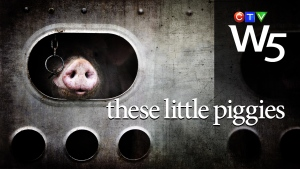 W5: an undercover investigation into how hogs are transported to market. Abuse, horrific conditions and little oversight.