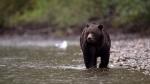 A grizzly bear fishes for salmon along the Atnarko River in Tweedsmuir Provincial Park near Bella Coola, B.C., in this Sept 11, 2010 file photo. (Jonathan Hayward / THE CANADIAN PRESS)