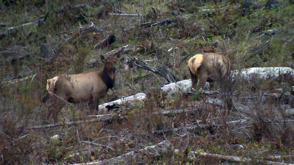 Elk are shown in Cypress County, Alta.
