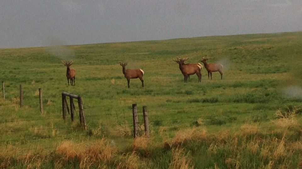 Elk are shown in a field in Cypress County, Alta.