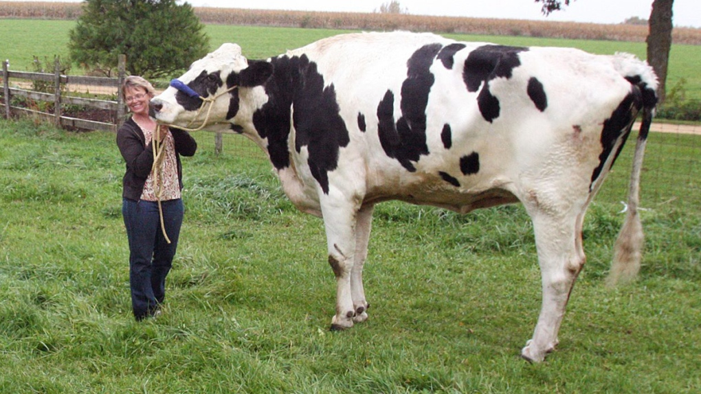 World's tallest cow