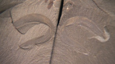 These fossils, found in the Rockies a century ago, were re-examined over the last three years, and researchers realized an eel-type creature had something in common with humans.