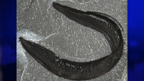 The fossil of Pikaia gracilens is shown in this undated photo. (THE CANADIAN PRESS/HO, University of Toronto)