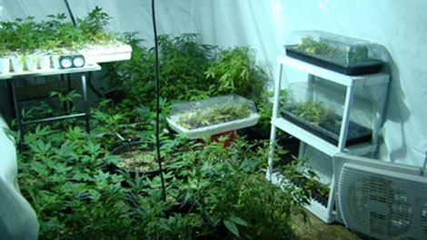 grow operation, marijuana