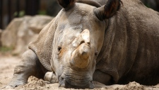 Northern white rhino Nabire