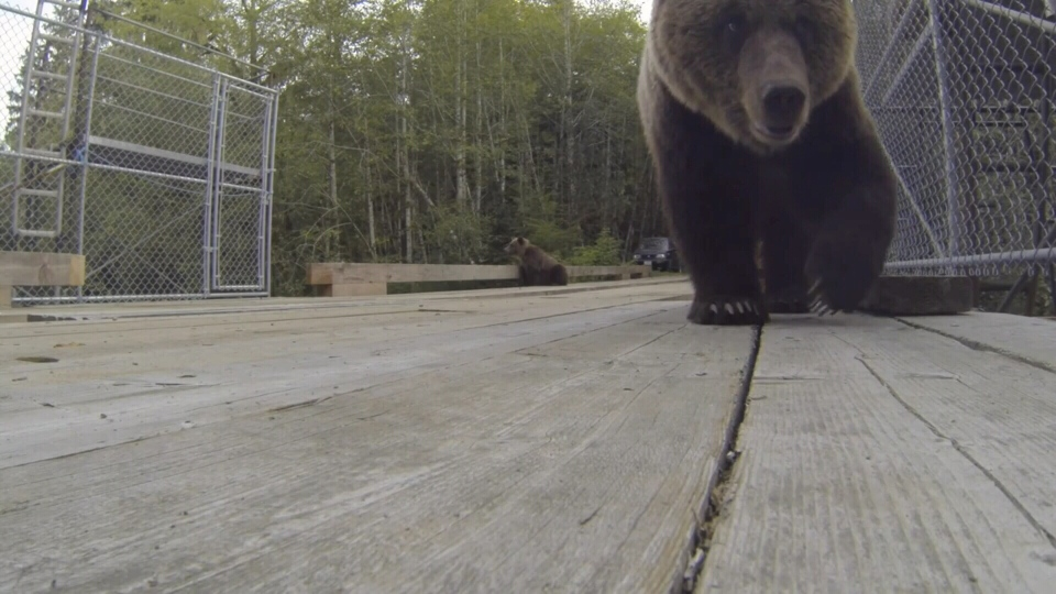 A curious grizzly bear takes an interest in a GoPro camera in this still from a video shot in mid-September near Glendale Cove. Oct. 20, 2014. (YouTube/John Kitchin)