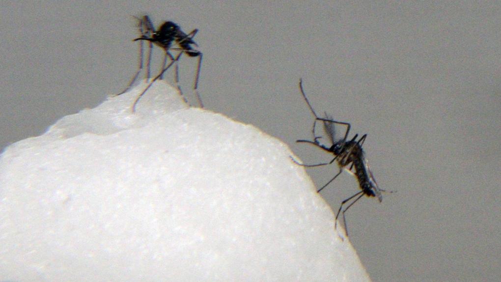 Mosquitos that spread chikungunya virus