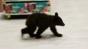 Bear cub wanders through aisles of Oregon store