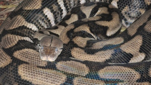 The Louisville Zoo posted this image of 'Thelma,' the reticulated python on their Facebook page on Thursday, Oct. 23, 2014.