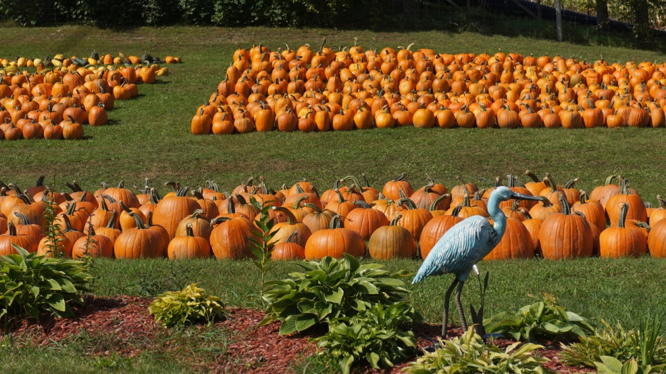 A special visitor strolls through Nauman's Pumpkin Patch in St. Clements. (Lynn Boehler / MyNews)