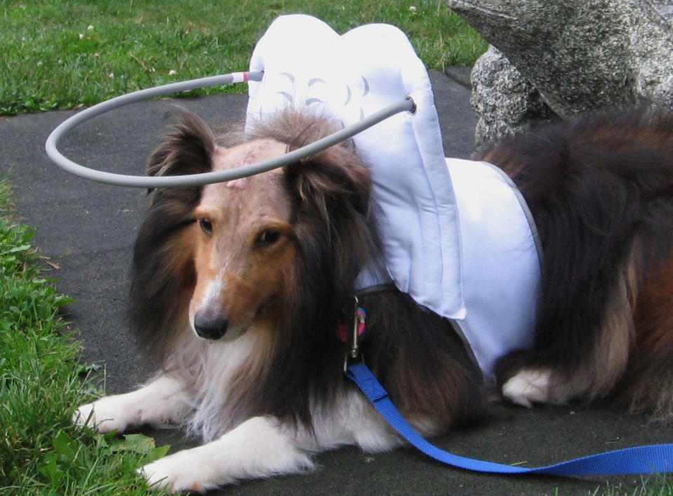 Sochi, a 4 year old blind Sheltie, wearing Muffin's Halo after brain surgery on July, 3, 2014. (AP Photo/(AP Photo/Teresa Abbuhl)