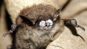A little brown bat with fungus on its nose is pictured in Oct. 2008 in New York. THE CANADIAN PRESS/AP, New York Department of Environmental Conservation, Ryan von Linden