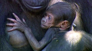 Extended: Baby gorilla debut