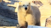 CTV Winnipeg: Polar cub debut