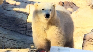 CTV Winnipeg: Polar cub debut