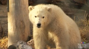 CTV Winnipeg: Orphaned polar bears make appearance