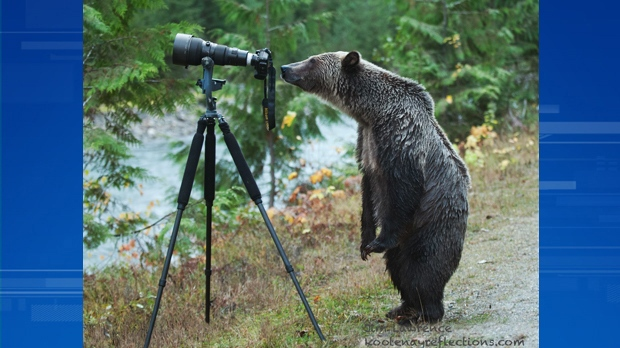 Wildlife photographer Jim Lawrence snapped this shot of a grizzly bear carefully inspecting his camera setup beside a river near Revelstoke. Nov. 2, 2014. (Courtesy Jim Lawrence)