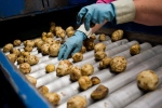 A worker inspects potatoes in this July 18, 2014 file photo. (AP Photo/The Bay City Times, Yfat Yossifor)