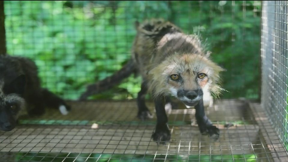 CTV Montreal: Fur farmer facing charges