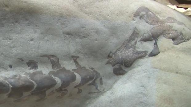 Dinosaur fossil in Alberta