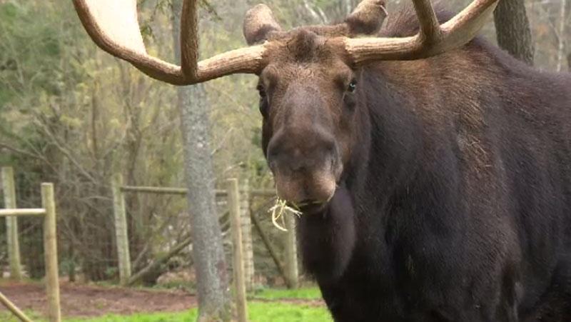 mainland moose