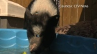 eli the pig