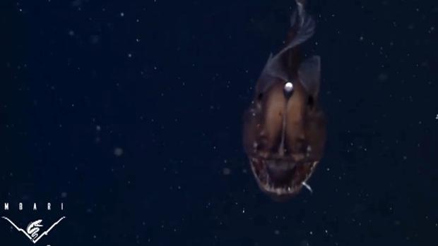 Black sea devil
