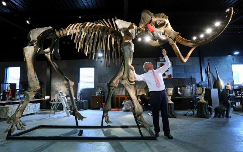 In this Sept. 23, 2014 file photo, James Rylands, Auctioneer and Director of Summers Place Auctions, prepares the skeleton of an Ice Age woolly mammoth in London. (AP Photo/PA, Gareth Fuller)